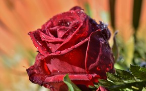 Picture drops, macro, rose, Bud, red