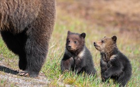 Picture grass, look, pose, glade, paws, bears, pair, bear, walk, kids, bears, a couple, bears, two, …