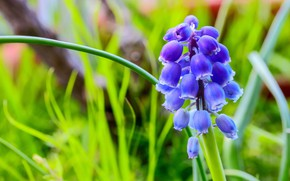 Picture greens, leaves, flowers, blur, spring, lilac, bokeh, Muscari, hyacinth mouse
