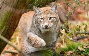 Picture forest, cat, grass, look, face, pose, tree, paw, portrait, beauty, lynx, wild, sneaks