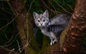 Picture cat, cat, look, branches, nature, pose, the dark background, kitty, grey, tree, tail, trunk, bark, …