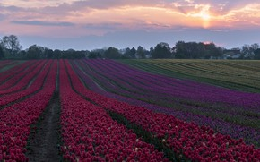 Picture the evening, tulips, houses, twilight, plantation