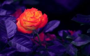 Picture Orange, Rose, Flowers, Rosebud, Orange rose, Bud, Rose bud