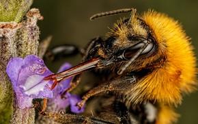 Picture flower, water, macro, bee, background, plant, drop, insect, proboscis