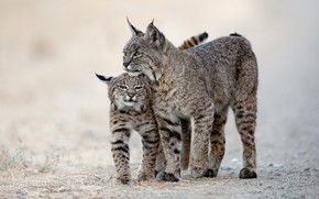 Picture background, cub, lynx, wild cat