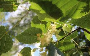 Picture greens, the sky, leaves, macro, flowers, Linden, Belarus, my photo