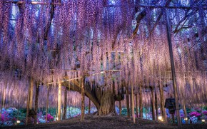 Picture flowers, Japan, colorful, Wisteria, overhanging branches