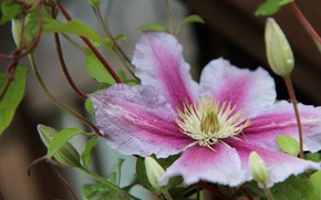 Picture summer, Flower, flowering, Clematis