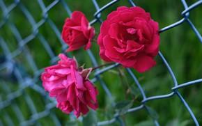 Picture roses, trio, netting