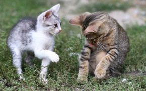 Picture language, summer, grass, pose, the game, kittens, two kittens, communication