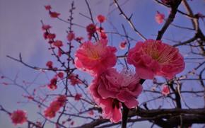 Picture macro, branches, Sakura, flowering, flowers