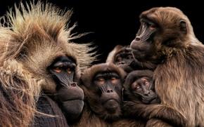 Picture Monkey, Yorkshire Wildlife Park, Gelada Family