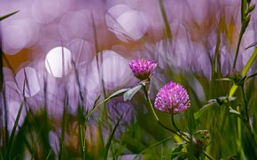 Wallpaper summer, grass, light, flowers, background, lilac, clover, bokeh