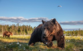 Picture forest, summer, grass, look, face, pose, bird, paws, bear, bears, bear, walk, the expression, funny, …