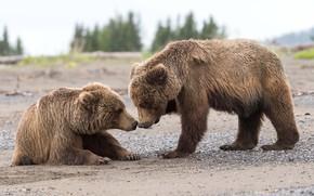 Picture animals, nature, predators, Alaska, bears, dad, cubs