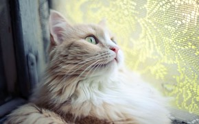 Picture green eyes, Cat, face, animal, fur, ears, whiskers, feline