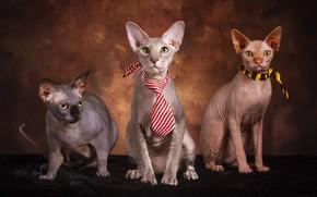 Picture cat, cat, look, cats, pose, the dark background, cats, tie, three, fur, trio, faces, sitting, …