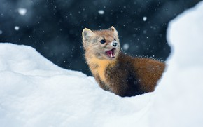 Picture winter, look, snow, the dark background, portrait, muzzle, mouth, the snow, animal, snowfall, teeth, marten