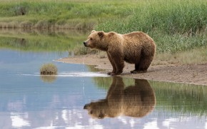 Picture summer, grass, look, face, drops, nature, pose, reflection, shore, bear, bear, drink, pond, brown