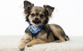 Picture Chihuahua, breed, baby