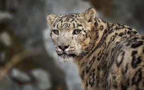 Picture look, face, portrait, IRBIS, snow leopard, bokeh
