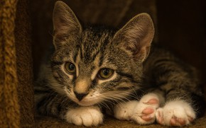 Picture cat, look, pose, the dark background, kitty, grey, legs, lies, kitty, face, striped