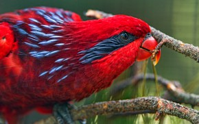 Picture look, close-up, red, bright, bird, parrot