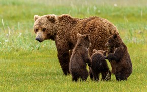 Picture look, bear, bears, walk, kids, bears, family, bear, mother, three bear