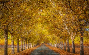 Picture yellow, beauty, Park, road, trunks, leaves, yellow, alley, falling leaves, the ranks, branches, Golden autumn, …