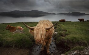 Picture nature, background, cattle