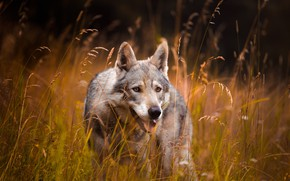 Picture field, language, grass, look, face, grey, wolf, spikelets, blade