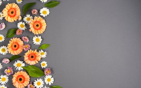 Wallpaper gerbera, colorful, summer, background, chamomile, flowers, flowers