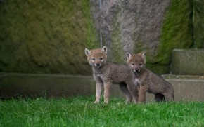 Picture puppies, pair, wolves, the cubs, two, the coyotes