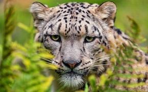 Picture look, face, cats, close-up, portrait, snow leopard, bars, wild cats, fern, zoo, expressive