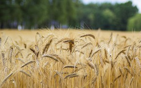 Picture field, summer, trees, nature, rye, spikelets, bread, ears, cereals, bokeh, blurred background, rye field