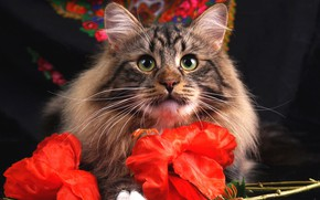 Picture cat, eyes, cat, look, face, flowers, grey, background, portrait, red, striped, shawl, artificial