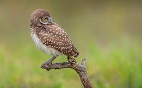 Picture bird, branch, burrowing owl, rabbit owl