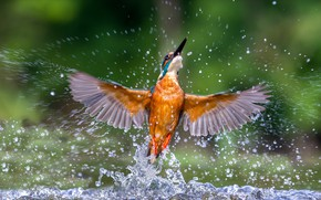 Picture water, squirt, wings, Kingfisher, kingfisher