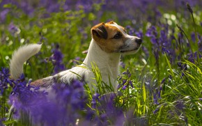 Picture greens, summer, grass, look, face, light, flowers, glade, dog, purple, profile, lilac, bokeh, doggie, Jack …
