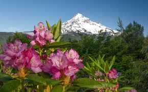 Picture flowers, mountains, pink, Azalea, rhododendrons