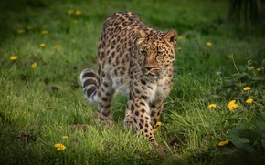 Picture summer, grass, look, nature, glade, leopard, walk, wild cat
