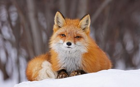 Picture look, face, snow, Fox, red, bokeh