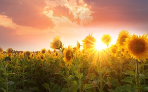 Picture field, summer, the sky, leaves, the sun, clouds, rays, light, sunflowers, sunset, flowers, bright, nature, …