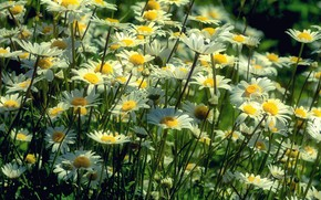 Picture field, summer, macro, flowers, nature, chamomile