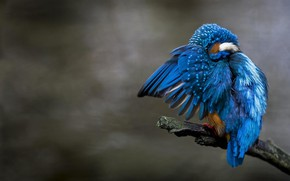 Picture background, bird, branch, Kingfisher, kingfisher