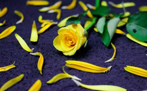 Picture flowers, rose, roses, yellow, petals, purple background