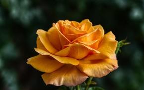 Picture flower, macro, the dark background, rose, orange, bokeh, bright