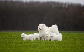 Picture greens, field, language, dogs, look, trees, nature, background, dog, spring, puppies, puppy, walk, white, kids, …