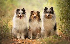 Picture dogs, trio, Sheltie, Trinity, Shetland Sheepdog