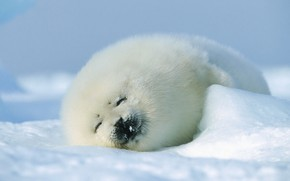 Picture winter, seal, fur, cub
